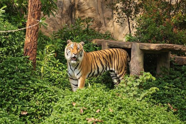 Bengaalse tijger staat