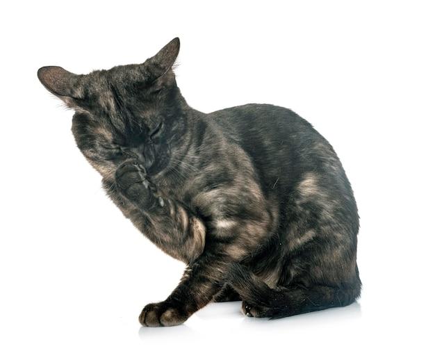 Bengalen kat geïsoleerd op wit