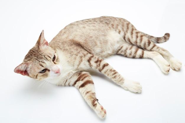 Bengalen kat op een witte achtergrond