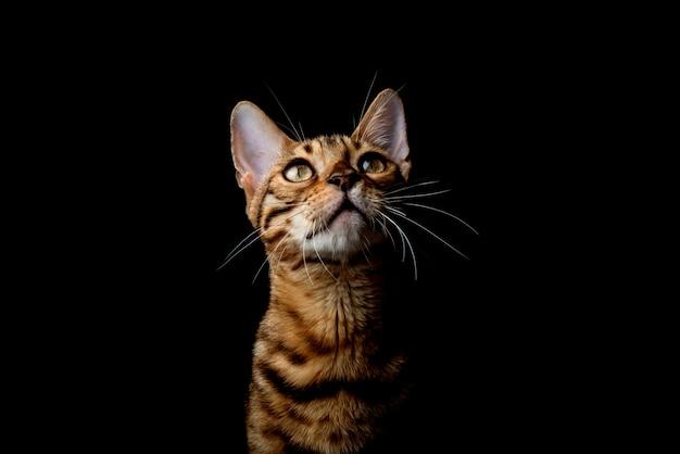 Bengalen kat op een zwarte achtergrond