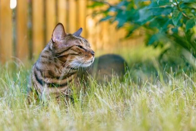Bengalen kat rusten op een gazon in de schaduw van een struik