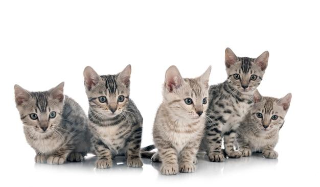 Bengalen kat voor witte achtergrond