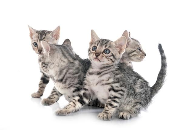 Bengalen katten op witte achtergrond