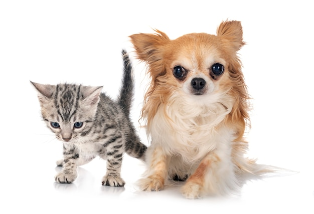 Bengalen kitten en chihuahua geïsoleerd