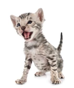 Bengalen kitten in studio
