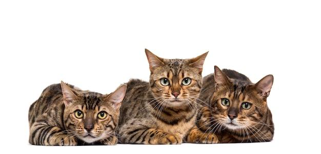 Bengals cat liggen