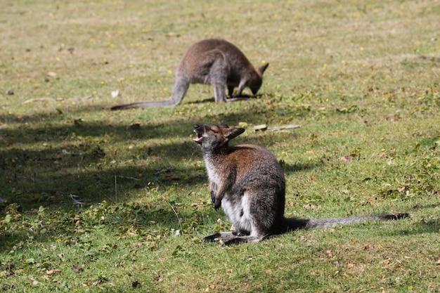 Bennett-wallaby, kangoeroe bij een dierentuin in frankrijk