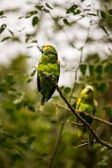 Benyan papegaai in yungas coroico, bolivia