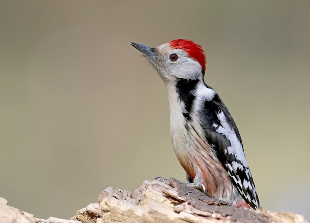 Bepalend portret van middelgrote bonte specht. het is mogelijk om voor de vogels een identificatiegids te gebruiken.
