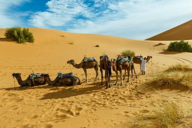 Berber bereidt een karavaan van kamelen voor