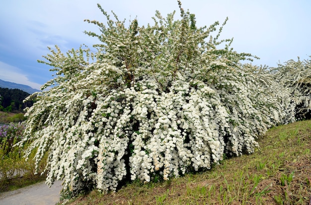 Berberis thunbergii 'atropurpurea nana', een plant afkomstig uit oost-china en japan