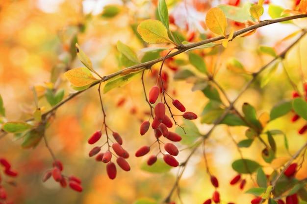 Berberisbessen die op een tak op kleurrijk hangen van boken. kleuren van de herfst. tak met bessen