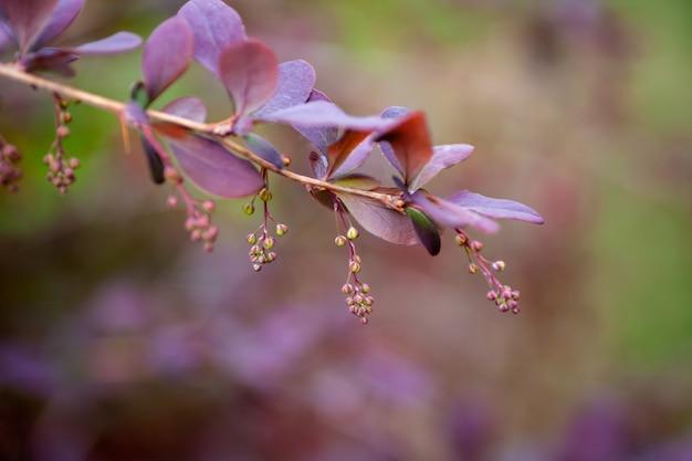 Berberisfamilietak met toppen close-up van tak met paarse bladeren en bloemen van berberis met vage ...