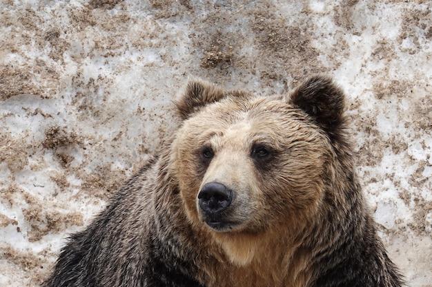 Beren in noboribetsu bear park binnen, hokkaido, japan.