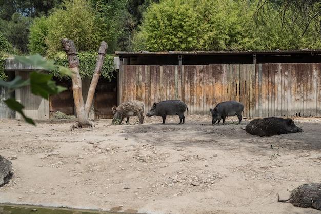 Beren op zoek naar voedsel in dor land