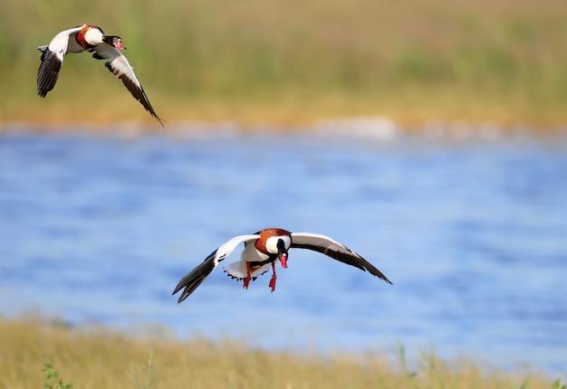 Bergeend (tadorna tadorna) tijdens de paartijd. foto's van deze vogels tijdens de vlucht en op de grond.