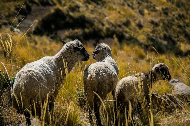 Bergen schapen in de velden en gras