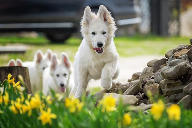 Berger blanc suisse. witte duitse herdershond in gras