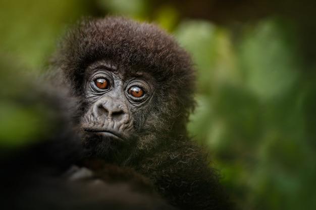 Berggorilla's gorilla beringei beringei