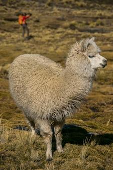 Berglama in cordillera real andes, bolivia