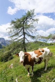 Berglandschap met koe op de voorgrond, italiaanse alpen