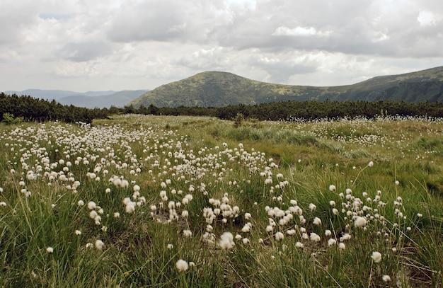 Bergweide met pluiswitte bloemen (bewolkte lucht en uitzicht op de bergen achter)