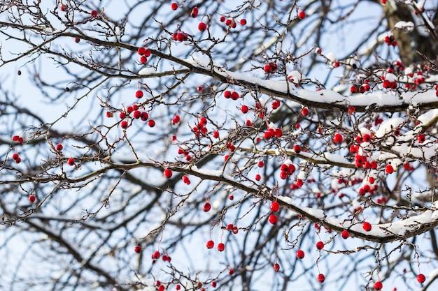 Berijpte rode meidoornbessen onder sneeuw op een boom in de tuin.