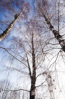 Berk in de winter gefotografeerd close-up kale berken in de winter, blauwe lucht, boomtoppen,