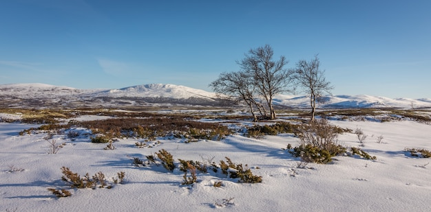 Berkbomen en sneeuw voor bergen in de dovre-bergen in noorwegen