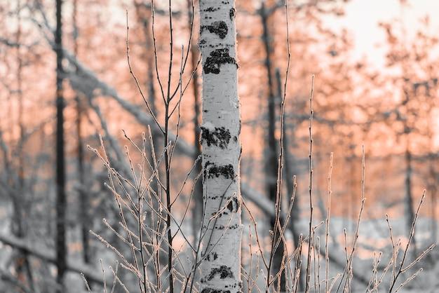 Berkboomstam in het bos bij zonsondergang van de dag.