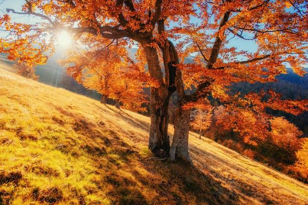 Berkbos in zonnige middag terwijl de herfstseizoen