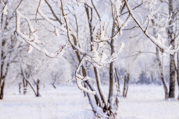 Berkbosje in de winter in de sneeuw. witte bomen. bomen in de sneeuw.