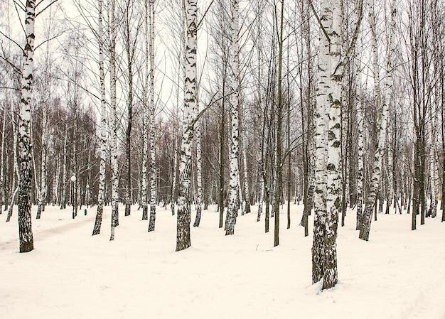 Berkbosje in de wintersneeuw
