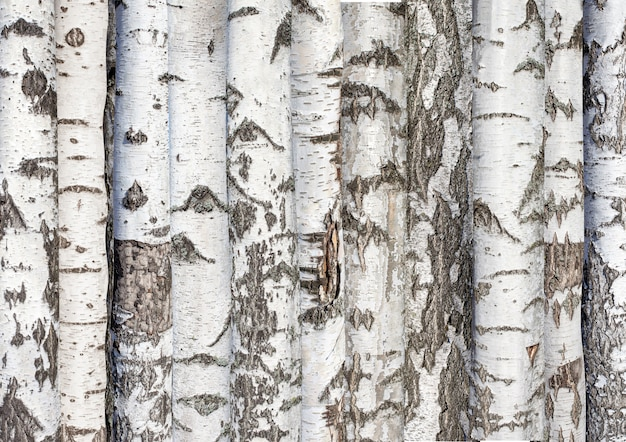 Berken stammen. achtergrond van bos bomen. karelische berk. hoge kwaliteit foto