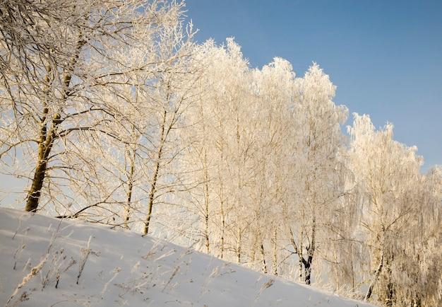 Berkenbomen in de winter