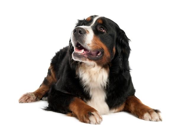 Berner sennenhond met 13 maanden oud. geïsoleerd hondportret