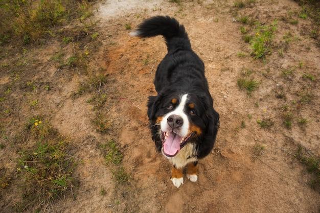 Berner sennenhond op een veld