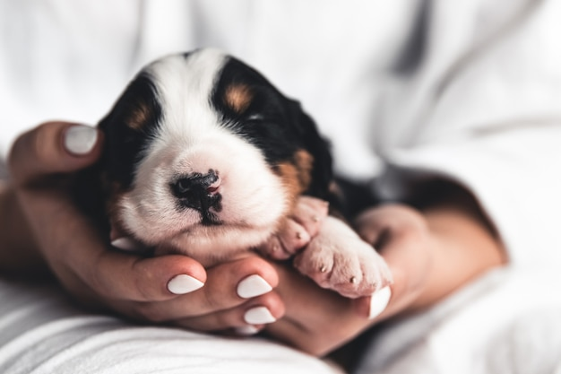 Berner sennenhond puppy in vrouwelijke handen, zorg voor dieren, pasgeborenen