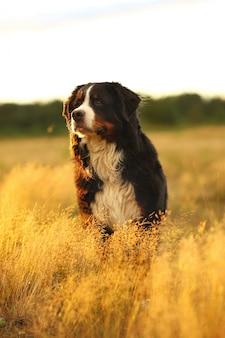 Berner sennenhond zittend op een veld