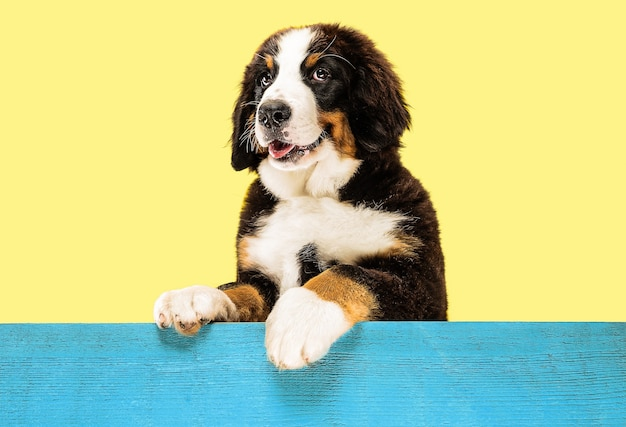 Berner sennenhund puppy op geel