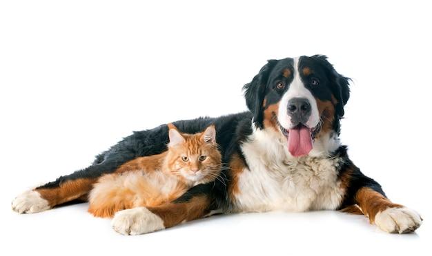 Bernese moutain hond en kat