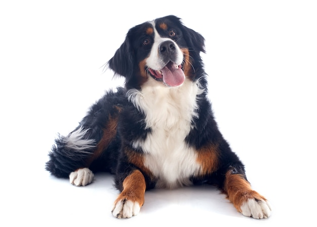 Bernese moutain hond