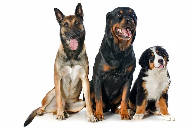 Bernese puppy, malinois en rottweiler op wit