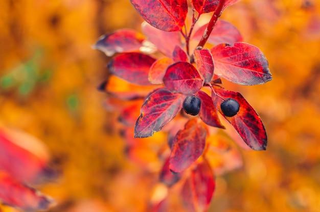Bes op cotoneaster-tak op een herfst bokeh achtergrond.
