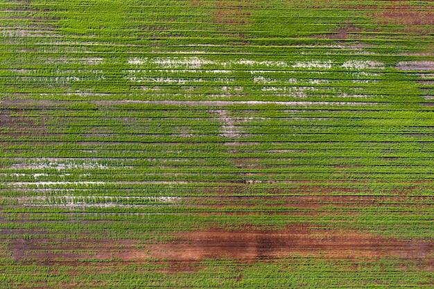 Beschadigde gewassen in het veld. vanwege slechte rasomstandigheden, of slechte grond of ziekte. zieke landbouwgewassen.
