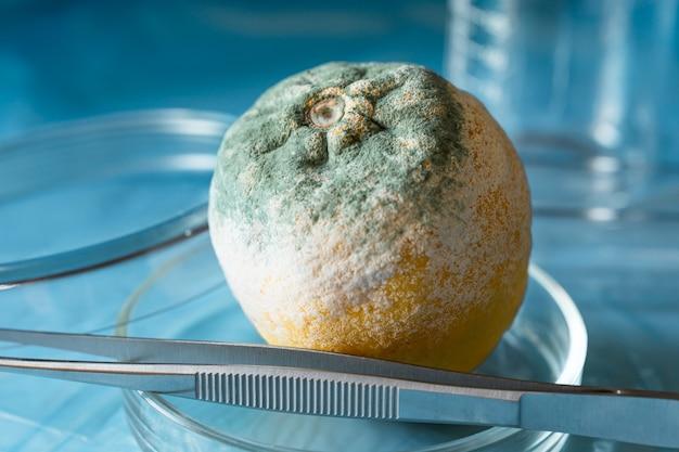 Beschimmelde citroen in een petrischaal op een blauwe tafel