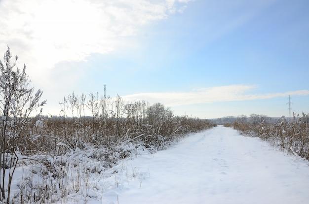 Besneeuwd wild moeras met veel geel riet, bedekt met een laagje sneeuw. het landschap van de winter in moerasland