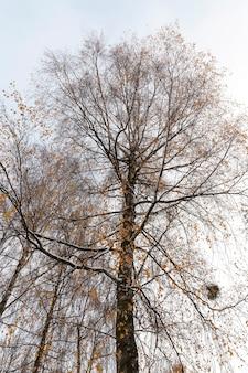 Besneeuwde berkentakken met gele bladeren. gefotografeerd close-up.