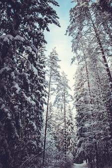 Besneeuwde bomen in het winterbos in de schemering