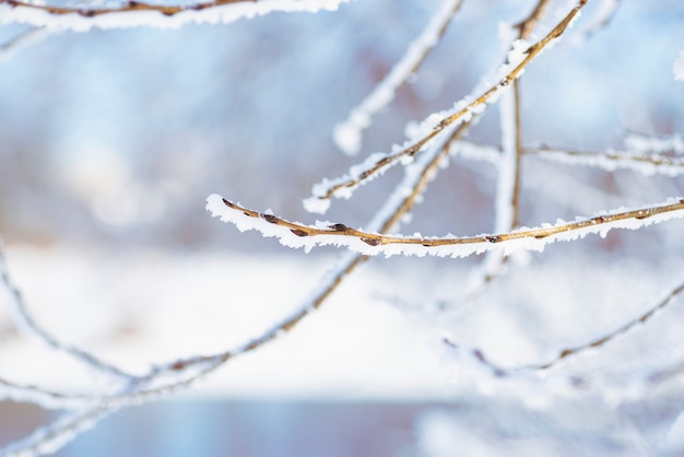 Besneeuwde boomtak met toppen op een azuurblauwe achtergrond.